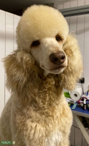 Brown Sable Standard Poodle -Multi Colour Carrier Listing Image Thumbnail