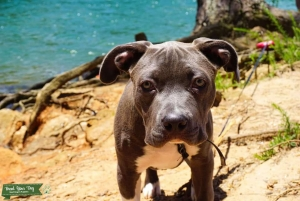 Beautiful Blue Bully looking for stud Listing Image