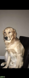 Beautiful Male Golden Retriever looking for a Girlfriend! Listing Image