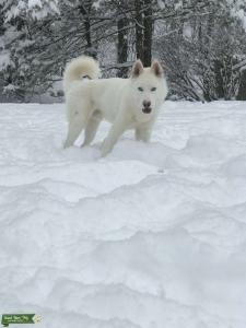 White Siberian Husky Listing Image