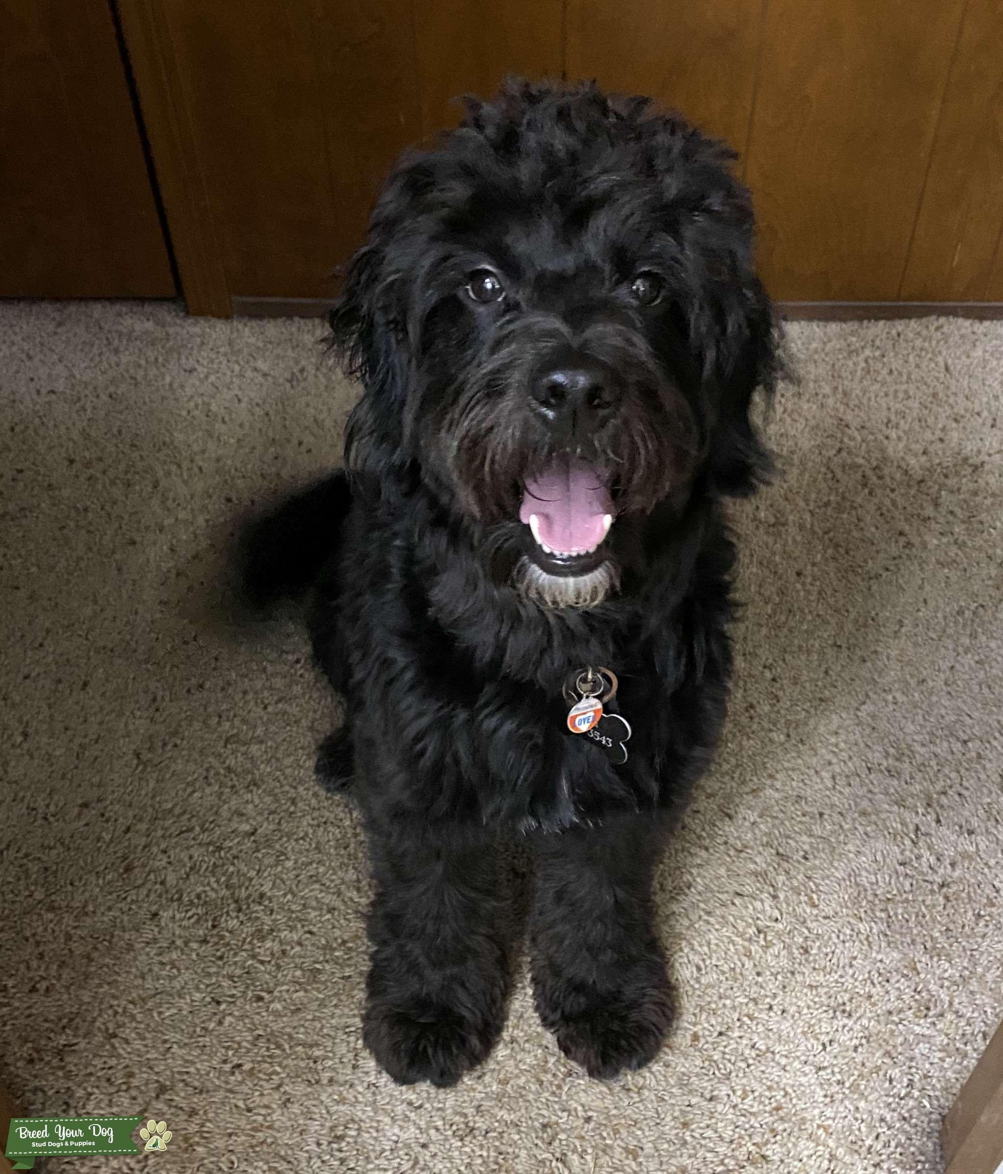 Stud Dog Black Mini Goldendoodle Breed Your Dog