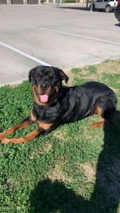 Male Rottweiler Looking to Breed Listing Image