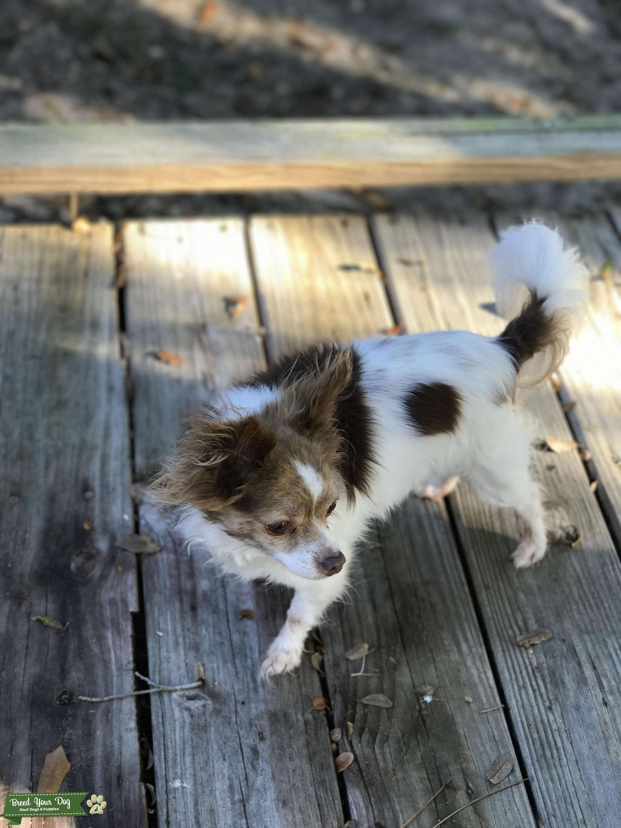 Caribbean Chihuahua Listing Image Big