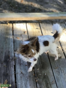 Caribbean Chihuahua Listing Image