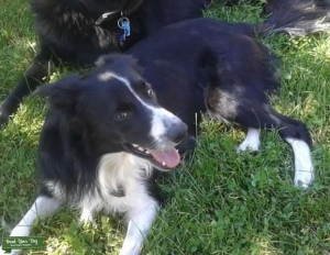 Border Collie  Pure Breed Black and White Listing Image