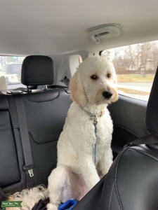 Goldendoodle ready to stud in March Listing Image