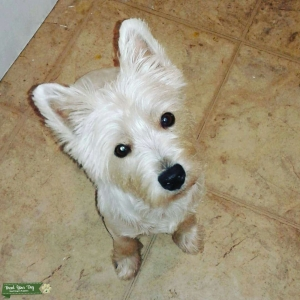 Sweetest Purebred Female Westie Listing Image