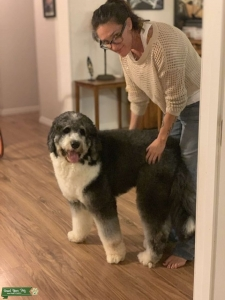 Bernedoodle Male looking for Bitch Listing Image