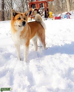 Beautiful Fawn Akita Listing Image