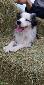 Mini Australian Shepherd Stud Looking for a Female Listing Image