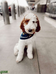 Pardi Poodle Listing Image