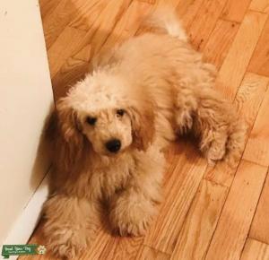 Taking Inquiries On Miniature Poodle Stud! Listing Image