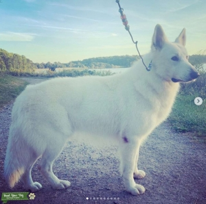 Champion White Swiss Shepherd at Stud Listing Image