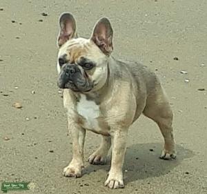 Blue Fawn French bulldog - free stud Listing Image