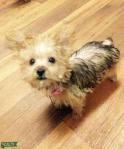 Looking for Yorkie Stud Listing Image