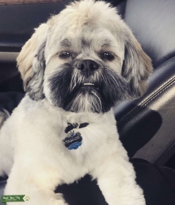 Lhasa Apso available for stud Listing Image