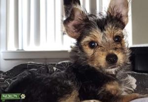 Yorkshire Terrier Listing Image