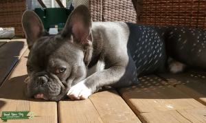 Blue Pure Bred French Bull Dog Listing Image