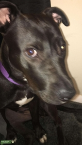 Black & White Female LAB mix looking for male Listing Image
