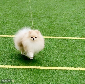 Open for stud. Male. Russian imported pomeranian, Champion of Russia and Champion of Russian Kynological federation. Listing Image