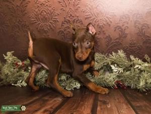 Mini Pinscher Stud Dog  Listing Image