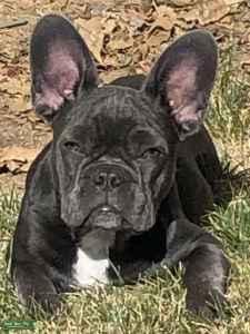 Blue French Bulldog Listing Image