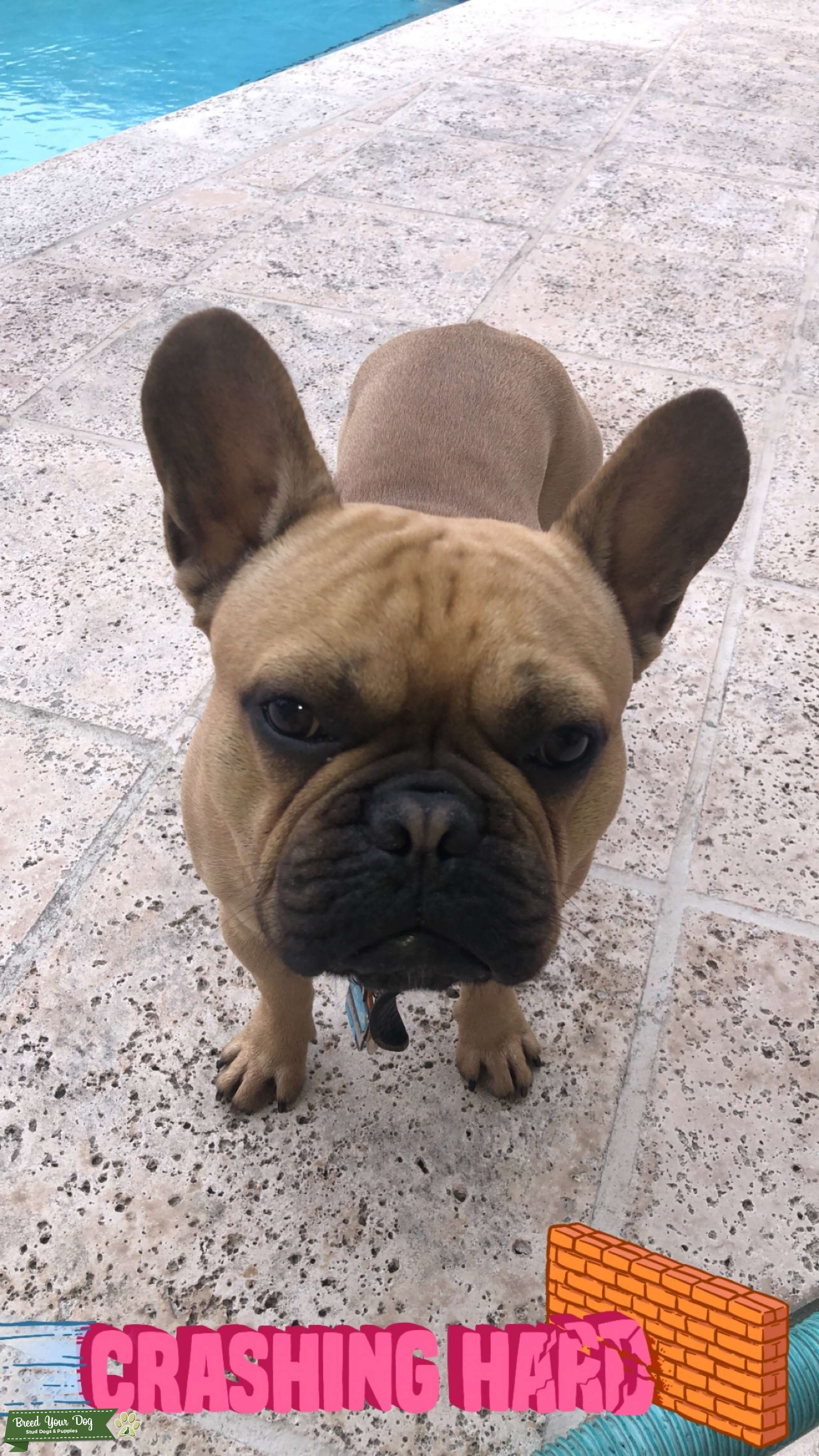 Male fawn frenchie available to stud Listing Image Big