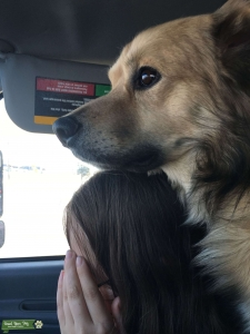Beautiful, intelligent dog, should be a breed on his own. Sled dog mix, Malamute, Retriever, even Beagle, making him just about the perfect dog.  Listing Image