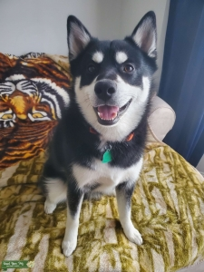 A Pomsky with a smile that never quits Listing Image