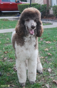 Small Standard Part Poodle - Full AKC Doodle Friendly Listing Image
