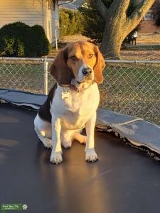 Beagle Baby Budd Listing Image