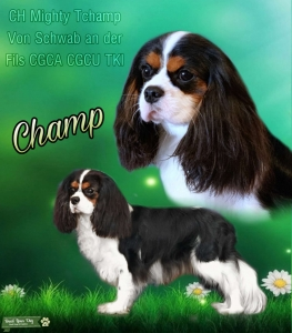 AKC Champion stands for stud Listing Image