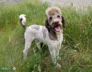 Standard Poodle Listing Image