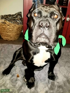 Cane Corso Male in Houston Listing Image