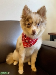 Stud Pomsky available for breeding  Listing Image