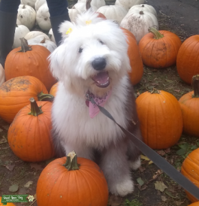 Old English Sheepdog Lady in Minnesota Listing Image