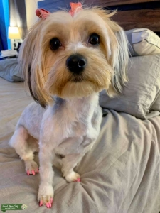 Looking for a Stud Yorkie Listing Image