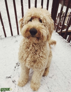 Goldendoodle looking to breed Listing Image