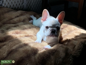 All-white French Bulldog  Listing Image Thumbnail