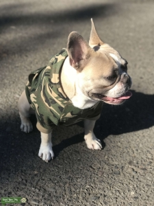 AKC French Bulldog up for stud Listing Image