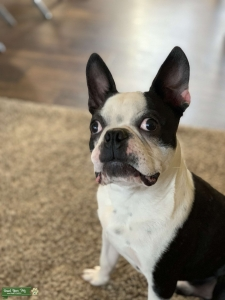 Black and White Boston Terrier Listing Image