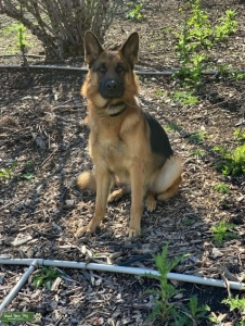 World Class German Shepherd  Listing Image