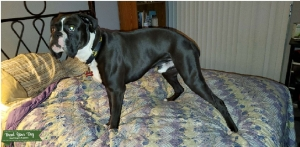 AKC Sealed Brindle boxer up for stud Listing Image