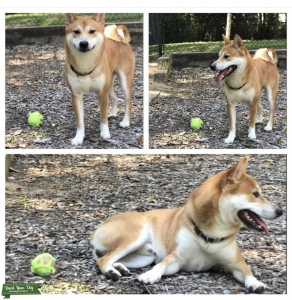 Shiba inu cream male very playful  Listing Image
