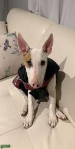 Bull terrier  Listing Image