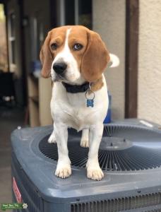 Beagle stud Listing Image