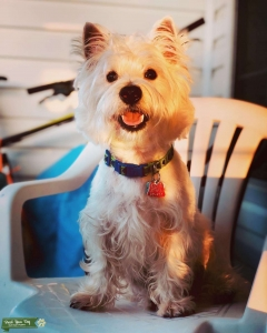 Male Westie Looking for a girlfriend  Listing Image