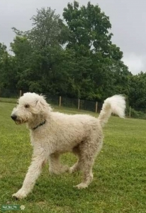First generation white labradoodle Listing Image
