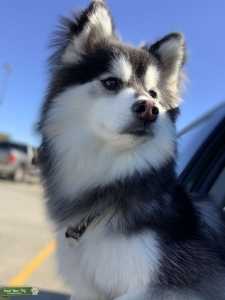 Looking for a female Pomeranian or pomsky  Listing Image