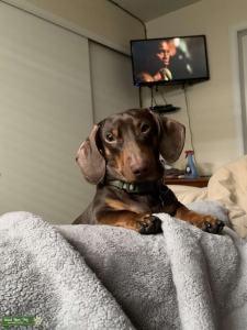Handsome Dachshund looking for wife  Listing Image